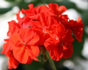 vente-geranium-ecoles-villecresnes